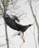 "Steller's Sea-Eagle in flight <div id=""caption_tourlink"" align=""right""> [photo © participant John Hardister]</div>"
