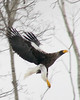 "Steller's Sea-Eagle in flight <div id=""caption_tourlink"" align=""right""> [photo © participant John Hardister]</div>"