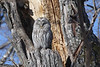 "Ural Owl at a daytime roost, a fantastic find <div id=""caption_tourlink"" align=""right""> [photo © guide Phil Gregory]</div>"
