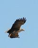 "White-tailed Eagle <div id=""caption_tourlink"" align=""right""> [photo © participant John Hardister]</div>"