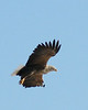 "White-tailed Eagle <div id=""caption_tourlink"" align=""right""> [photo © participant John Hardister]</div>"