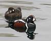 "Harlequin Ducks <div id=""caption_tourlink"" align=""right""> [photo © participant John Hardister]</div>"