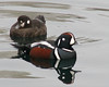 "Harlequin Ducks <div id=""caption_tourlink"" align=""right""> [photo © participant John Hardister]</div>"