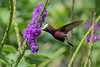 "Over the years, we have noticed that many of our tour participants get so excited by Arizona's hummingbirds that they can't wait to ""keep going"" for more. Often, that means a jaunt to Costa Rica, home to the handsome Snowcap, here photographed by guide Cory Gregory on the Holiday Costa Rica tour."