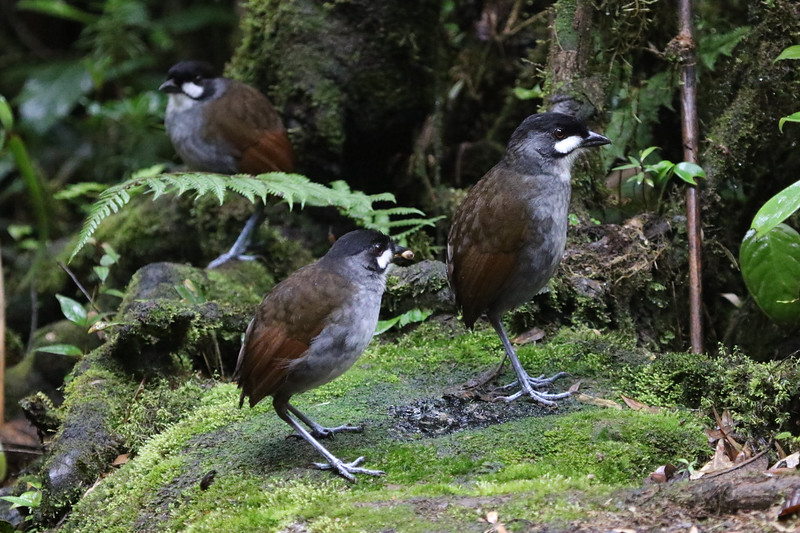 "<div style=""text-align: left;"">The discovery of Jocotoco Antpitta, a very large and distinctive bird, stunned the birding world back in 1997. Perhaps because its song sounds rather like a Rufous-banded Owl, this bird had been overlooked in Ecuador, a country with a well-studied avifauna. Importantly, its discovery led to the establishment of a foundation to preserve its habitat and habitats of many other Andean birds. We usually see this glorious endangered bird on our <a href=""https://fieldguides.com/bird-tours/ecuador-south"" target=""_blank""><span class=""slideshow_tourlink3"">SOUTHWESTERN ECUADOR SPECIALTIES: JOCOTOCO FOUNDATION RESERVES</span></a> tour. Photo by participant Kathy Brown.</div>"
