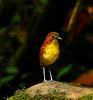"<div style=""text-align: left;"">Among Angel Paz's star visitors are Chestnut-crowned and Giant antpittas, the gorgeous Yellow-breasted Antpitta (here photographed by Angel himself)...</div>"
