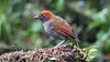 "<div style=""text-align: left;"">Another large antpitta of the genus <i>Grallaria</i>, Chestnut-naped Antpitta, is also often observed on our <a href=""https://fieldguides.com/bird-tours/ecuador-south"" target=""_blank""><span class=""slideshow_tourlink3"">SOUTHWESTERN ECUADOR SPECIALTIES</span></a> tour, but it is a more widespread species, found into the Andes of Peru and Colombia, where we also observe it on our <a href=""https://fieldguides.com/bird-tours/colombia-medellin"" target=""_blank""><span class=""slideshow_tourlink3"">COLOMBIA: MEDELLIN ESCAPE</span></a> tour. Photo by participants David &amp; Judy Smith.</div>"