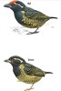 """Anyone ready for the big Second Edition of Terry Stevenson's <i>Field Guide to the Birds of East Africa</i>? Terry is hard at work reading the proofs now, in hopes it will be in your hands in time for the holidays! Here are the illustrations for Yellow-spotted Barbet, the only member of the genus <i>Buccanodon</i>. Found across the middle swath of Africa, from Guinea to western Kenya, Yellow-spotted looks rather like a chubby tinkerbird, with an appreciably larger bill, but it has no close relatives among the living barbets. It is fairly common locally but requires relatively large tracts of forest to thrive. We see it most regularly on our <a href=""""https://fieldguides.com/bird-tours/ghana/"""" target=""""_blank""""><span class=""""slideshow_tourlink3"""">GHANA</span></a> tour at Kakum Forest."""
