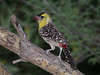 """A little-known species in the same genus, Yellow-breasted Barbet occurs in the Sahel from Mali through Niger, Chad, Sudan, to Ethiopia, where we see it on our <a href=""""https://fieldguides.com/bird-tours/ethiopia/"""" target=""""_blank""""><span class=""""slideshow_tourlink3"""">ETHIOPIA</span></a> tour. This bird favors wadis and washes in sandy, hilly scrub, grassland with thorny woodland, and often wooded areas around villages. Like the other <i>Trachyphonus</i>, its rollicking vocalizations are loud and often delivered in duet or chorus. Photo by participants David and Judy Smith."""