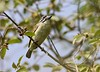 """The widespread Red-fronted Tinkerbird, here at Awash National Park on our <a href=""""https://fieldguides.com/bird-tours/ethiopia/"""" target=""""_blank""""><span class=""""slideshow_tourlink3"""">ETHIOPIA: ENDEMIC BIRDS &amp; ETHIOPIAN WOLF</span></a> tour, is often the first bird to zip in and mob a small owl in arid acacia woodlands. Its calls and plumages are very similar to those of the even more widespread Yellow-fronted, but the two appear not to hybridize where their ranges meet in Ethiopia. Photo by guide Ned Brinkley."""