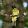 """The smaller, slimmer Black-headed Berryeater, which also (thankfully) has a loud, far-carrying song, inhabits similar forests, mostly farther north than Hooded. Where the two overlap in range, Hooded normally occurs at slightly higher elevations. This is a bird we seek on our new <a href=""""https://fieldguides.com/bird-tours/brazil-bahia-birding-bonanza/"""" target=""""_blank""""><span class=""""slideshow_tourlink3"""">BAHIA BIRDING BONANZA</span></a> tour near Porto Seguro! Photo by guide Marcelo Barreiros."""