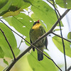 """In Colombia's Santa Marta Mountains, which arose separately from the Andean uplift, Golden-breasted Fruiteater is the only <i>Pipreola</i> present, but no complaints! It sometimes frequents mixed-species flocks but is mostly seen perched quietly, digesting, as it eyes the next bit of fruit in its future. Photo by guide Cory Gregory on our <a href=""""https://fieldguides.com/bird-tours/colombia-santa-marta/"""" target=""""_blank""""><span class=""""slideshow_tourlink3"""">COLOMBIA'S SANTA MARTA MOUNTAINS &amp; CARIBBEAN COAST</span></a> tour."""