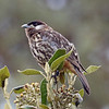 """One of the stars of our <a href=""""https://fieldguides.com/bird-tours/peru-central/"""" target=""""_blank""""><span class=""""slideshow_tourlink3"""">CENTRAL PERUVIAN ENDEMICS: THE HIGH ANDES</span></a> tour is the rare White-cheeked Cotinga, which feeds on mistletoe fruit in dry <i>Polylepis-Gynoxys</i> forests of Peru's western slope. In its limited range, no other birds eat these fruits, so White-cheeked is likely the main seed disperser for several mistletoe species. With no close relatives, it is in the monotypic genus <i>Zaratornis</i>. Photo by participant Greg Griffith."""