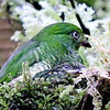 """Imagine the delight in discovering this female Fiery-throated Fruiteater with nestling at the nest on our <a href=""""https://fieldguides.com/bird-tours/ecuador-wildsumaco/"""" target=""""_blank""""><span class=""""slideshow_tourlink3"""">ECUADOR'S WILDSUMACO LODGE</span></a> tour! It is one of the few nests documented, perhaps not surprising on a tour known for its surprises. Photo by guide Willy Perez."""