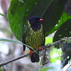 """On our <a href=""""https://fieldguides.com/bird-tours/ecuador-umbrellabird/"""" target=""""_blank""""><span class=""""slideshow_tourlink3"""">CLOUDFORESTS OF ECUADOR: ALL THE BEST OF THE WILD NORTHWEST</span></a> tour, we often run into a lot of Green-and-black Fruiteaters if there is an abundance of fruit. Despite their vivid coral-red bills and feet, they blend remarkably well with the forest foliage. Photo by guide Willy Perez."""