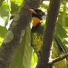 """Masked Fruiteater, endemic to the east slope of the Andes in Peru, is uncommon and has been little studied. Fortunately, it often appears on the hotel grounds on our <a href=""""https://fieldguides.com/bird-tours/peru-machu-picchu/"""" target=""""_blank""""><span class=""""slideshow_tourlink3"""">MACHU PICCHU &amp; ABRA MALAGA, PERU</span></a> tour! Photo by guide Dan Lane. We do not yet have a photo of the related, rare Black-chested Fruiteater, known from the eastern Andean slope from southern Colombia, throughout Ecuador, and just into northern Peru. We have recorded it on tours, including our <a href=""""https://fieldguides.com/bird-tours/ecuador-montane/"""" target=""""_blank""""><span class=""""slideshow_tourlink3"""">MONTANE ECUADOR</span></a>, <a href=""""https://fieldguides.com/bird-tours/ecuador-jewels/"""" target=""""_blank""""><span class=""""slideshow_tourlink3"""">JEWELS OF ECUADOR</span></a>, and <a href=""""https://fieldguides.com/bird-tours/ecuador-wildsumaco/"""" target=""""_blank""""><span class=""""slideshow_tourlink3"""">ECUADOR'S WILDSUMACO LODGE</span></a> tours, but it often stays hidden high in the canopy."""