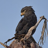 """Six species of snake-eagle inhabit Africa, including Banded Snake-Eagle, nicely photographed here by participant Becky Hansen on our <a href=""""https://fieldguides.com/bird-tours/ethiopia"""" target=""""_blank""""><span class=""""slideshow_tourlink3"""">ETHIOPIA</span></a> tour. As their name indicates, these compact raptors hunt snakes primarily, usually from the air. Uganda and Botswana tours also feature this species."""