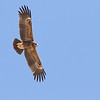 ...as do smaller numbers of Lesser Spotted Eagles....