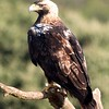 """Before leaving the Mediterranean region, we must pay homage to a grand eagle of the Iberian Peninsula: Spanish Imperial Eagle, also called Adalbert's or Spanish Eagle. After huge population losses in the twentieth century, this species' numbers are again increasing, with at least 324 breeding pairs, most of them in Spain, where we see them on our spring <a href=""""https://fieldguides.com/bird-tours/spain"""" target=""""_blank""""><span class=""""slideshow_tourlink3""""> SPAIN</span></a>  tour, but a few also seen each year on our <a href=""""https://fieldguides.com/bird-tours/portugal-birds-and-wine"""" target=""""_blank""""><span class=""""slideshow_tourlink3""""> PORTUGAL</span></a>  tour!"""