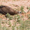 And when migrating over the deserts, these eagles sometimes even land, to drink at whatever fresh water source they can find (here a Steppe Eagle pauses to rehydrate).