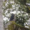 """Crowned Eagle, by contrast, is a bird of tropical forests in Africa, where it hunts monkeys, duikers, and bushbuck, much in the way that Harpy Eagle hunts in the Americas. Although weighing a bit less than Martial Eagle, Crowned is known to prey on animals weighing up to 66 pounds--and it's the only raptor documented to have taken humans as prey. This photograph was taken by guide Terry Stevenson in the renowned Kakamega Forest, on his <a href=""""https://fieldguides.com/bird-tours/kenya"""" target=""""_blank""""><span class=""""slideshow_tourlink3"""">KENYA SAFARI SPECTACULAR</span></a>  tour."""