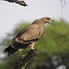 "An abundant eagle on most of our African tours, Tawny Eagle has also adapted well to populated areas and is the ""default"" eagle in many cities. This bird was photographed by participant Mike Mecham on our <a href=""https://fieldguides.com/bird-tours/kenya-tanzania"" target=""_blank""><span class=""slideshow_tourlink3""> EAST AFRICA HIGHLIGHTS</span></a> tour, which visits Kenya and Tanzania."