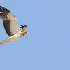 The hordes of Steppe Eagles bring with them two-dozen other raptor species in spring, among them thousands of other eagles, such as this lovely light-morph Booted Eagle (a Swainson's Hawk look-alike, yes!).
