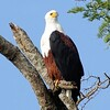 """Let's move southward, into Africa, where all of our sub-Saharan tours feature this beauty: African Fish-Eagle, clad in black, chestnut, and white, with a voice that carries for miles across the lakes and rivers where it fishes. This bird was photographed on our <a href=""""https://fieldguides.com/bird-tours/uganda"""" target=""""_blank""""><span class=""""slideshow_tourlink3""""> UGANDA</span></a>  tour by participant Warren Jones."""