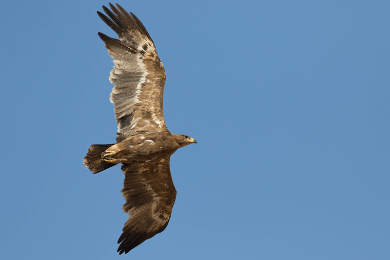 "Welcome to Birds of a Feather: The Eagles! To get us started, guide Doug Gochfeld has put together some photos from his <a href=""https://fieldguides.com/bird-tours/israel"" target=""_blank""><span class=""slideshow_tourlink3""> ISRAEL MIGRATION MAGIC</span></a> tour, our most eagle-rich tour. This Steppe Eagle is one of tens of thousands that pass over Eilat each spring--in fact, most of the world population of this species passes this point in migration!"