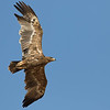 """Welcome to Birds of a Feather: The Eagles! To get us started, guide Doug Gochfeld has put together some photos from his <a href=""""https://fieldguides.com/bird-tours/israel"""" target=""""_blank""""><span class=""""slideshow_tourlink3""""> ISRAEL MIGRATION MAGIC</span></a> tour, our most eagle-rich tour. This Steppe Eagle is one of tens of thousands that pass over Eilat each spring--in fact, most of the world population of this species passes this point in migration!"""