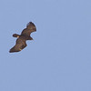 ...and Greater Spotted Eagles, here a brawny adult....