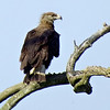 """Far less often detected is the threatened Pallas's Fish-Eagle, a bird that is thinly distributed over its vast Eurasian range. We see it most often on our <a href=""""https://fieldguides.com/bird-tours/mongolia"""" target=""""_blank""""><span class=""""slideshow_tourlink3"""">MONGOLIA</span></a> and <a href=""""https://fieldguides.com/bird-tours/india-eaglenest"""" target=""""_blank""""><span class=""""slideshow_tourlink3"""">NORTHEAST INDIA</span></a>  tours, both guided by Phil Gregory, who took this photograph. Watch for it also on our  <a href=""""https://fieldguides.com/bird-tours/india-north"""" target=""""_blank""""><span class=""""slideshow_tourlink3"""">NORTHERN INDIA</span></a> tour with Terry Stevenson and Tom Johnson."""