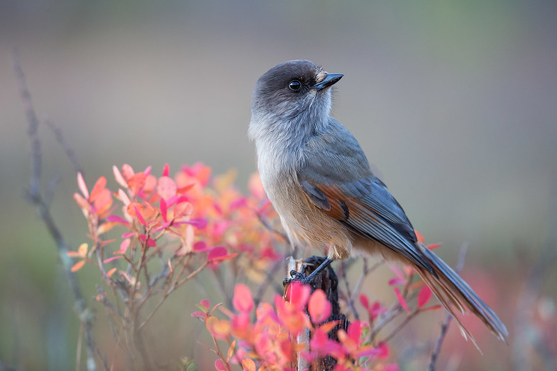 "Even if they were not so intelligent, and not so animated in their behaviors, the jays, magpies, and many of the the corvids (family Corvidae) would be attractive to us for their plumages, only a minority of which are uniform in color. Siberian Jay, a species we look for on our new <a href=""https://fieldguides.com/bird-tours/finland/"" target=""_blank""><span class=""slideshow_tourlink3"">FINLAND: WOLVERINES, OWLS &amp; WILD-WILD GROUSE</span></a> tour, has rich rufous tones in wings and tail to complement its soft grays and browns. These colors probably help it blend well with the palette of its taiga haunts. Oh, yes, and welcome to the latest <a href=""https://fieldguides.smugmug.com/SHOWS/Birds-of-a-Feather/"" target=""_blank""><span class=""slideshow_tourlink3""><b>BIRDS OF A FEATHER</b></span></a> show! Photo by Jari Peltomäki."