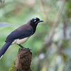 "In the same genus is the less-tufted and more simply plumaged Black-chested Jay , here a bird of the nominate subspecies on our <a href=""https://fieldguides.com/bird-tours/colombia-santa-marta/"" target=""_blank""><span class=""slideshow_tourlink3"">COLOMBIA'S SANTA MARTA MOUNTAINS &amp; CARIBBEAN COAST</span></a> tour (the subspecies <i>zeledoni</i> we see in Panama). Despite being a fairly common bird from southeastern Costa Rica to Colombia and Venezuela, Black-chested has not been the subject of much study, and its breeding biology is very poorly known, though it's probably a cooperative breeder, like others in its genus. Photo by guide Cory Gregory."