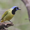 "By changing up the color scheme here and there, <i>Cyanocorax</i> can look pretty incredible, such as this Green Jay, a delightful, widespread, variable species we see from the Lower Rio Grande of Texas (here on our <a href=""https://fieldguides.com/bird-tours/texas-valley/"" target=""_blank""><span class=""slideshow_tourlink3"">SPRING IN SOUTH TEXAS</span></a> tour, where it is surely a must-see species) south all the way to Bolivia! Photo by guide Chris Benesh."