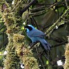 "If you need a bit more blue than White-throated Jay affords, look no further than the stunning Turquoise Jay, here on our <a href=""https://fieldguides.com/bird-tours/ecuador-jewels/"" target=""_blank""><span class=""slideshow_tourlink3"">JEWELS OF ECUADOR: HUMMERS, TANAGERS &amp; ANTPITTAS</span></a> tour in the Cordillera Guacamayos. Pairs of this species often visit the grounds of San Isidro Lodge, the beautiful property of guide Mitch Lysinger and wife Carmen Bustamante, which we visit on four of our current Ecuador itineraries. Photo by guide Richard Webster."