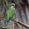 """In the monotypic genus <i>Myiopsitta</i>, Monk Parakeet is a familiar face both in many U.S. cities, where it is an exotic, and in cities throughout southern South America, where it is native. These birds seem to thrive in developed areas, even making their bulky stick nests on utility poles even in heavily urbanized environments. They resemble a large Gray-hooded Parakeet or perhaps a long-tailed parrotlet. Photo by participant Brian Stech on our <a href=""""https://fieldguides.com/bird-tours/argentina-north/"""" target=""""_blank""""><span class=""""slideshow_tourlink3""""> NORTHWESTERN ARGENTINA</span></a> tour."""