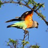 """But let's start at the very beginning of the taxonomic roster, with the African representatives of the Psittacidae, here a lovely Red-bellied Parrot from our <a href=""""https://fieldguides.com/bird-tours/ethipia/"""" target=""""_blank""""><span class=""""slideshow_tourlink3"""">ETHIOPIA</span></a> tour. These animated birds, in genus <i>Poicephalus</i>, roam arid environs of northeastern Africa, especially acacia savanna, <i>Commiphora</i> bush with baobabs, and riparian corridors with thorn forest, in search of figs and acacia fruit. Photo by guide Richard Webster."""