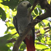 """The other parrot genus included with New World Parrots in Psittacidae is simply <i>Psittacus</i>, the Gray Parrot, an Endangered species known to many over the world for its roles in the pet industry, movies, and scientific research. This bird, from our <a href=""""https://fieldguides.com/bird-tours/uganda/"""" target=""""_blank""""><span class=""""slideshow_tourlink3"""">UGANDA: SHOEBILL, RIFT ENDEMICS &amp; GORILLAS</span></a>, tour,  was a nice change from the usual view of flyby birds! Researchers have demonstrated that this wet-forest species has a capacity to reason and to use language in creative ways on the level of a five-year-old human. Photo by guide Phil Gregory."""