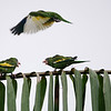 """White-winged Parakeets, like these squabblers on our <a href=""""https://fieldguides.com/bird-tours/brazil-amazon-mouth/"""" target=""""_blank""""><span class=""""slideshow_tourlink3"""">PARROTS &amp; COTINGAS: THE MOUTH OF THE MIGHTY AMAZON</span></a> tour, also adapt well to disturbed habitats, so well that escapees have established populations in several southern states and in Puerto Rico. It is a bit more fun to see them in their native Amazonia. Photo by participants David and Judy Smith."""