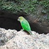 """The genus <i>Touit</i> was erected in 1855 by George Robert Gray for Scarlet-shouldered Parrotlet (<i>Touit huetii</i>), here a female on our <a href=""""https://fieldguides.com/bird-tours/ecuador-sacha/"""" target=""""_blank""""><span class=""""slideshow_tourlink3"""">AMAZONIAN ECUADOR: SACHA LODGE</span></a> tour. This Amazonian species appears to be nomadic (and thus often tough to find) in three highly disjunct regions. Photo by participants Ali and Steve Wakeham."""