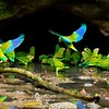 """These Cobalt-winged Parakeets on our <a href=""""https://fieldguides.com/bird-tours/ecuador-sacha/"""" target=""""_blank""""><span class=""""slideshow_tourlink3"""">AMAZONIAN ECUADOR: SACHA LODGE</span></a> tour make a good introduction to the genus <i>Brotogeris</i>, a short step up from the parrotlets in size. Indeed, these are sometimes confused with the <i>Forpus</i> parrotlets such as Blue-winged--but note the lack of blue rump and longer tail in these birds. We see them in pristine rainforest and also in small towns of western Amazonia. Photo by participant Gregg Recer."""