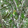 """Another <i>Touit</i>  that's a real treat is Golden-tailed Parrotlet, here on our <a href=""""https://fieldguides.com/bird-tours/brazil-northeast/"""" target=""""_blank""""><span class=""""slideshow_tourlink3"""">NOWHERE BUT NORTHEAST BRAZIL!</span></a> tour. This Brazilian endemic is listed as Vulnerable and restricted to coastal forest from Ceará all the way to São Paulo, but it can be tough to find anywhere. Photo by participant Bruce Sorrie."""