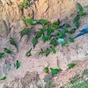"""And sometimes, we strike pay dirt--or rather, the birds do, as they come to lick mineral-rich clay, as on our <a href=""""https://fieldguides.com/bird-tours/ecuador-south/"""" target=""""_blank""""><span class=""""slideshow_tourlink3"""">PERUVIAN RAINFOREST OF THE TAMBOPATA</span></a> tour. These sites are locally called """"ccollpas."""" And who do we have here? The big Blue-and-yellow Macaw stands out at upper right (one of six macaws possible here). Above and behind it are glorious Blue-headed Parrots. At far left and on lower slopes, those colorful Orange-cheeked Parrots stand out, and the longer-tailed, yellow-faced birds near them are Red-bellied Macaws. On the top edge at center, a handful of Yellow-crowned Parrots have come in. And one more species--do you see it? (The answer at end of the show!) Photo by guide Jesse Fagan."""