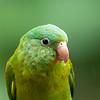 """Guide Cory Gregory is very adept at getting portrait-like shots of birds, as this Orange-chinned Parakeet from his recent <a href=""""https://fieldguides.com/bird-tours/costa-rica-edges/"""" target=""""_blank""""><span class=""""slideshow_tourlink3"""">COSTA RICA: BIRDING THE EDGES</span></a> tour demonstrates. This species is another psittacid able to cope with urban conditions, from Mexico through Colombia, and it can be coaxed to feeding stations, where its elusive chin (that lends it the species name, <i>jugularis</i>) can be seen!"""