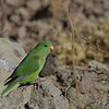 """The more widespread Mountain Parakeet inhabits even higher elevations than Gray-hooded, here in Argentina on the road from Aconcagua Provincial Park to Uspallata on our <a href=""""https://fieldguides.com/bird-tours/chile-argentina-birds-wine/"""" target=""""_blank""""><span class=""""slideshow_tourlink3"""">BIRDS &amp; WINES OF CHILE &amp; ARGENTINA</span></a> tour. In fact, this subspecies (<i>margaritae</i>) inhabits very high-elevation puna up to 14,800 feet! Two northerly subspecies, found only in Peru, are richly marked with yellow. Photo by guide Marcelo Padua."""