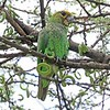 """An increasingly difficult bird to find, Yellow-fronted Parrot (here again in <a href=""""https://fieldguides.com/bird-tours/ethiopia/"""" target=""""_blank""""><span class=""""slideshow_tourlink3"""">ETHIOPIA</span></a>, where endemic) also favors riverine forest with acacias and figs, but this species ranges all the way up into Afro-montane forests over 10,000 feet. In all there are ten African parrots in genus <i>Poicephalus</i>, including the familiar Senegal Parrot. Photo by participant Greg Griffith."""