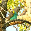"""In the same genus, Meyer's Parrot overlaps a bit with Red-bellied but mostly replaces it in regions to the southwest, where it tends to inhabit wetter environments than Red-bellied. This bird of subspecies <i>damarensis</i> was a most welcome sight on our  <a href=""""https://fieldguides.com/bird-tours/namibia-botswana/"""" target=""""_blank""""><span class=""""slideshow_tourlink3"""">NAMIBIA &amp; BOTSWANA</span></a> tour. Photo by participant Cliff Hensel."""