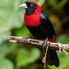 "Another species of the genus <i>Ramphocelus</i> found in brushy edges of humid forests from Mexico to Panama, Crimson-collared Tanager was another keeper on a recent <a href=""https://fieldguides.com/bird-tours/costa-rica-edges/"" target=""_blank""><span class=""slideshow_tourlink3"">COSTA RICA: BIRDING THE EDGES</span></a> tour, where Kevin Heffernan got this great photo. All of the species in this genus frequent edge habitats and thus often cope well with disturbance of habitat; they all share a ""Least Concern"" conservation status according to the International Union for Conservation of Nature."