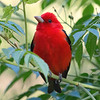"Participant Jody Gillespie's portrait of a male Scarlet Tanager from the <a href=""https://fieldguides.com/bird-tours/texas-coast/"" target=""_blank""><span class=""slideshow_tourlink3"">TEXAS COAST MIGRATION SPECTACLE</span></a> tour is of a newly arrived migrant, bound for nesting areas farther north. The Texas coast in spring is a great place to see and hear this species, but <a href=""https://fieldguides.com/bird-tours/cape-may-spring/"" target=""_blank""><span class=""slideshow_tourlink3"">SPRING IN CAPE MAY</span></a> and <a href=""https://fieldguides.com/bird-tours/canada-pelee/"" target=""_blank""><span class=""slideshow_tourlink3"">POINT PELEE MIGRATION SPECTACLE</span></a> offer more good chances. In fall we sometimes see southbound migrants on Cory Gregory's <a href=""https://fieldguides.com/bird-tours/cape-may/"" target=""_blank""><span class=""slideshow_tourlink3"">FALL FOR CAPE MAY</span></a> tour."